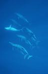 Nager avec les dauphins, c est possible et facile dans le lagon de Mayotte
