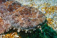 ornate wobbegong, Orectolobus ornatus. Julian Rocks, Byron Bay, New South Wales, Australia, South Pacific Ocean