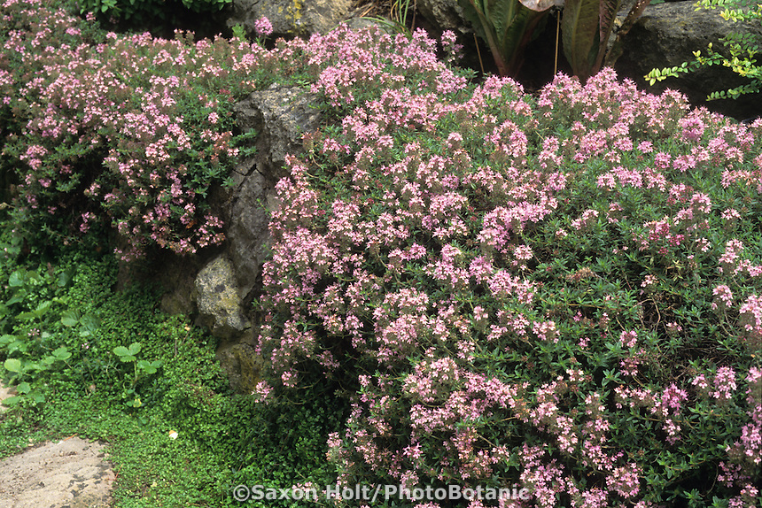Thymus vulgaris - Common Thyme, culinary herb flowering among rocks in drought tolerant garden.