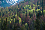 mixed conifer forests with aspen above Kawuneeche Valley showing beetle kill to trees by Mountain Pine Beetle, summer, Rocky Mountain National Park, Colorado, USA