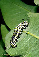 MO02-001d  Monarch Butterfly - caterpillar on milkweed - Danaus plexippus