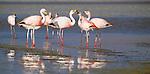 Puna flamingos, Bolivia