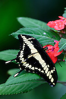 A Swallowtail (Papilio thoas) butterfly at the Butterfly Observatory at the La Paz Waterfall Gardens and Peace Lodge, Costa Rica