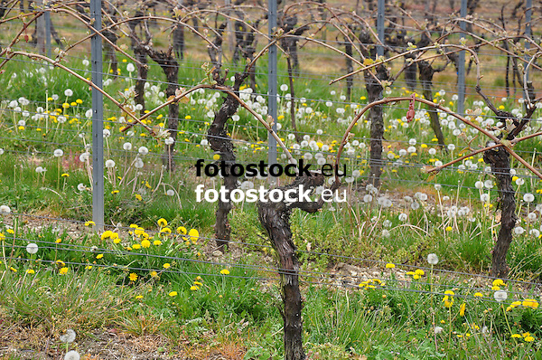 Weinberg im Frühling