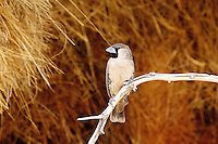 Sociable Weaver, Namibia