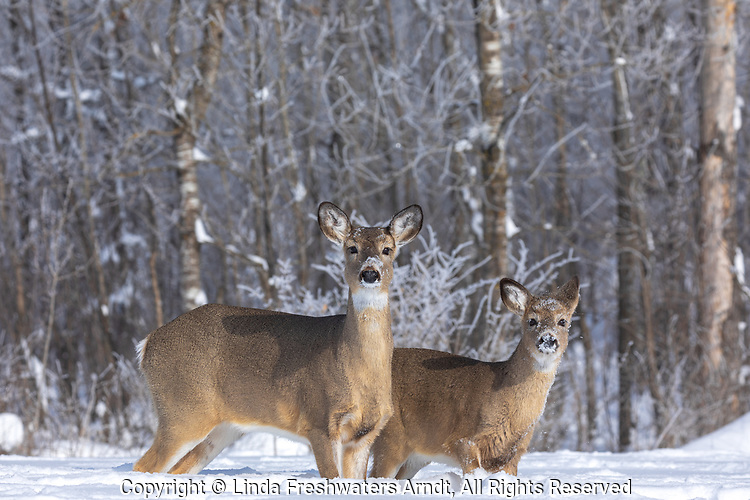 White-tailed doe and fawn walking in the deep snow along the forest's edge in northern Wisconsin.