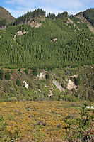New Zealand, north island.  Cultivating Trees as an Export Crop.