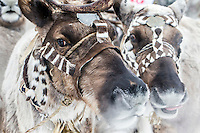 A pair of reindeer, harnessed with an animal skin bridle, to a sledge.  An explosion of the wolf population has had a devastating impact on the reindeer herds that are the lifeblood for the indigenous Evenki people of the Siberian state of Sakha (Yakutia). In 2012 it was estimated that between 12,000 - 16,000 reindeer were lost to wolf attacks, at a cost of around 15,000 rubles (153.00 GBP) per animal. In response the local authorities introduced a three month hunt with a bounty to encourage hunters to target wolves with the aim of reducing their numbers from 3,500 to 500. Hunters earn 400 USD (280 GBP) per proven kill, plus a further 400 USD (280 GBP) selling the skin to the fur trade. Ion Maksimovic, the region's most celebrated wolf hunter, killed 23 wolves in 2014, more than any other hunter, and in doing so won a prize of 300,000 roubles (3,060 GBP) and a snowmobile.