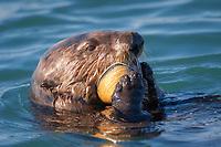 California sea otter, Enhydra lutris nereis, eating clam, Elkhorn Slough National Estuarine Research Reserve, Moss Landing, California, USA, Pacific Ocean