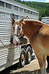 Draft horse by trailer at Cheshire Fair in Swanzey, New Hampshire USA