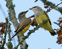 Adult and fledgling western kingbirds