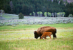 American bison with calf, Yellowstone National Park, Wyoming