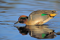 Green-Winged Teal - drake. North America. (Anas crecca).