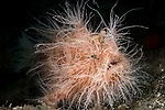 Lembeh Strait, Indonesia; a pink colored Hairy Frogfish, also known as a striated or striped frogfish, resting on the sandy bottom while the current blows its hairy filaments