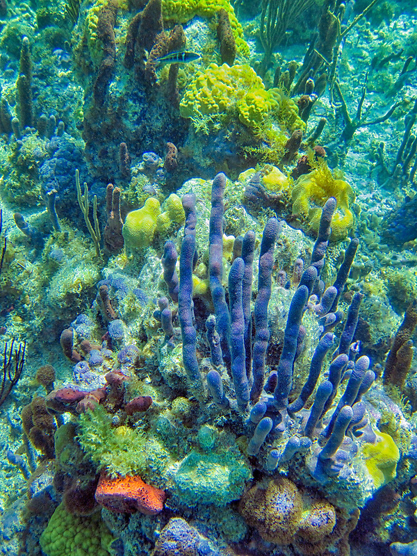 Sponges at coral reff. Providenciales. Turks and Caicos.