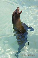 0406-1008  California Sea Lion Barking While Swimming, Zalophus californianus  © David Kuhn/Dwight Kuhn Photography.