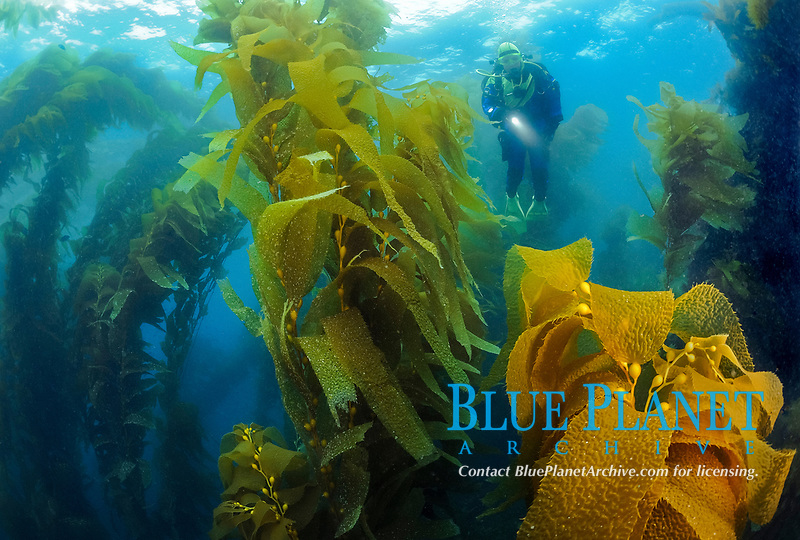 Female scuba diver swimming in thick luxuriant kelp canopy, Macrocystis pyrifera, Catalina Island, CA, Pacific Ocean