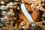 Puerto Galera, Oriental Mindoro, Philippines; a Clark's anemonefish living in a magnificent anemone