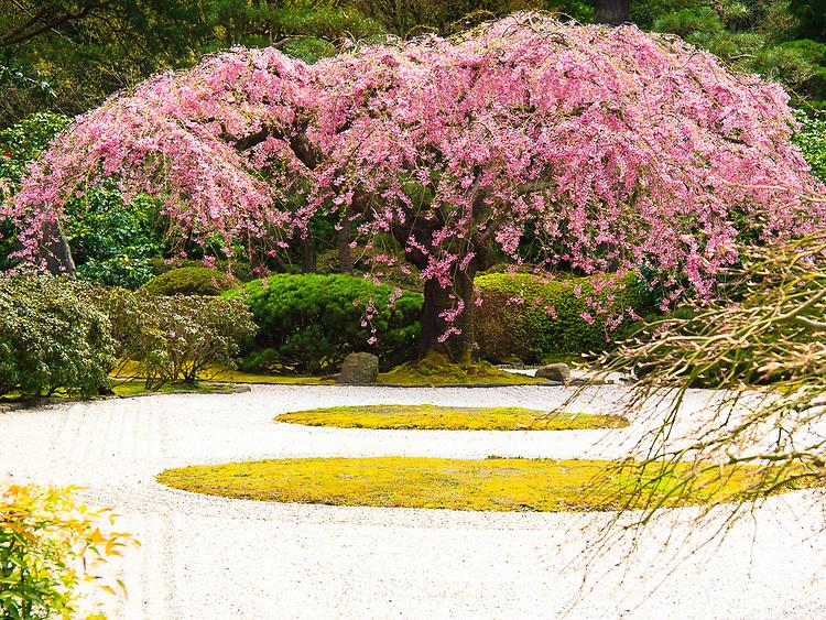 Weeping cherry tree (Shidare Zakura) with pink Spring blossoms in Flat Garden (hira niwa) looking across sand of Portland Japanese Garden