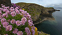 Thrift {Armeria maritima} growing on basalt sea cliffs, Isle of Staffa, Inner Hebrides, Scotland, UK. June.