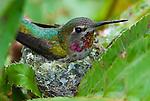 Rufous hummingbird nests in sword fern, Schmitz Preserve Park, Seattle, Washington