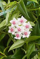 Hoya lanceolata subsp. bella AGM vine houseplant in flower