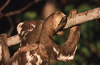 O bicho-preguiça é um mamífero da Ordem Xenarthra, na qual existem duas famílias, a Bradypodidae (três dedos) e a Megalonychidae (dois dedos). São elas:<br /> <br /> Familia Bradypodidae:<br /> - Bradypus variegatus – Preguiça Comum.<br /> - Bradypus tridactylus – Preguiça-de-Bentinho.<br /> - Bradypus torquatus – Preguiça-de-coleira.<br /> <br /> Família Megalonychidae:<br /> - Choloepus hoffmanni – Preguiça-real.<br /> - Choloepus didactylus – Preguiça-de-dois-dedos.<br /> Foto Marcello Lourenço
