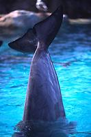 lobbing, bottlenose dolphin, Tursiops truncatus, San Diego, California