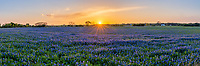 Texas Hill Country Bluebonnets Field Pano - We took this image of this very field of bluebonnets seven years ago and that image has been one of our best sellers so this year the field came back and here is 2021 images from here. This great field of bluebonnets at sunset finally came back after years of no flowers in the Texas hill country and we returned several times trying to catch a good sunset and today we had sucess. This field has not come back till this year since we took the image years ago. They say bluebonnets or lupines come out evey other year but this field is not following these guidelines. We capture this in the Texas Hill Country but every year is different and you never know where these kind of fields will show up. This field of bluebonnets looked like ocean waves of blue in this field and the sunset cast this nice orange and reddish glow over the fiield of blue wildflowers. Bluebonnet or Lupines which is a large variety of flowers which grow very well in the southern US and is the state flower in Texas. Texas lupines wildflowers can come in many colors, from blue to violet to purple, red to pink and even white.