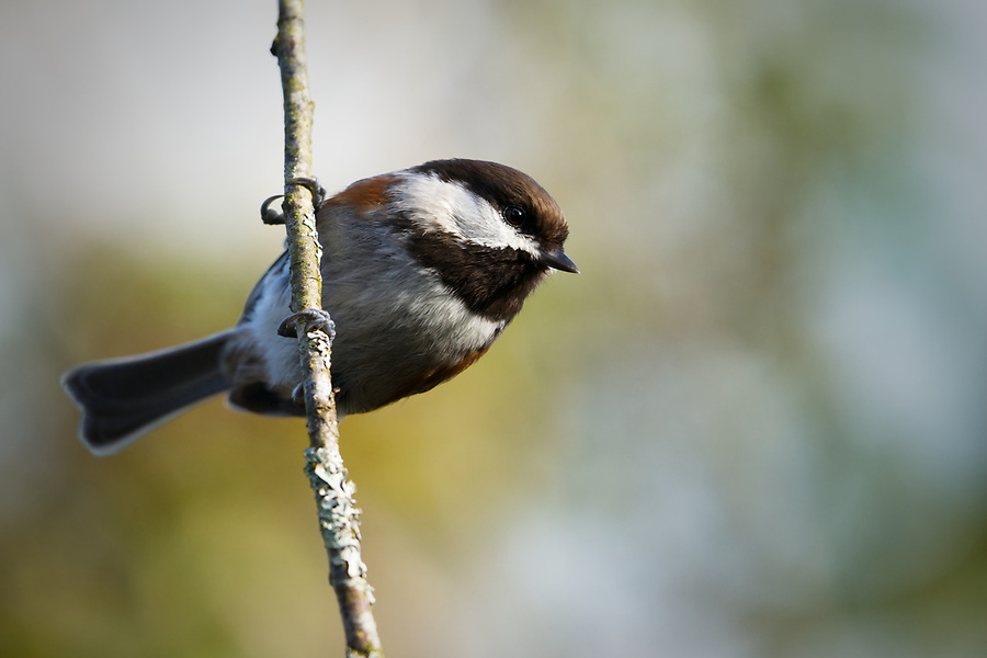 Chestnut-backed chickadee perched on vertical branch, Snohomish, Washington, USA