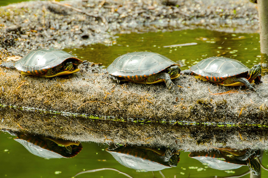 Three Painted Turtles exploit a good perch in the spring sun. Reptiles are cold blooded and bask out of water to warm themselves.