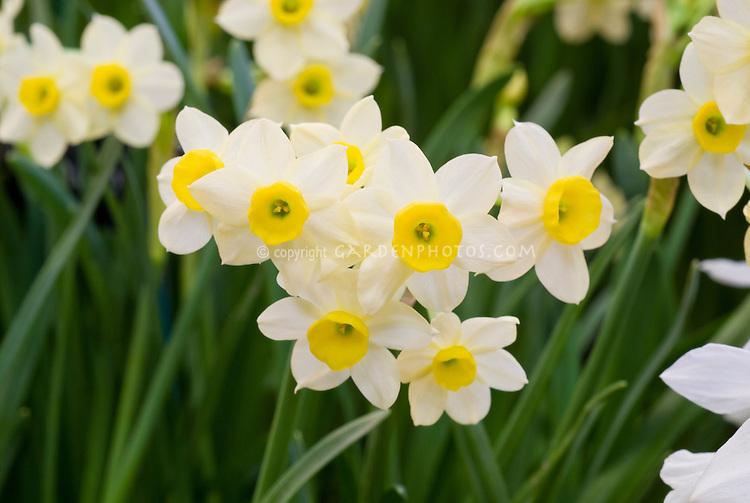 Narcissus 'Minnow' (AGM) Division 8 daffodil