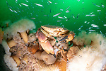 A crab amongst the anemone growth on the side of the SMS Köln