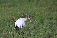 Wood Stork at Cuero Y Salado Reserve in Honduras