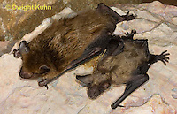 MA20-707z   Big Brown Bat mother and 4 week old young hanging from rock roost, Eptesicus fuscus