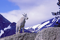 Mountain Goat Nanny (Oreamnos americanus), aka Rocky Mountain Goats, standing at Mineral Lick, along Icefields Parkway, Jasper National Park, Alberta, Canada