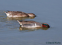 0717-0804  Male and Female Breeding Pair of Green-winged Teals, Feeding by Dabbling, Anas carolinensis © David Kuhn/Dwight Kuhn Photography