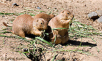 0601-1028  Group of Black-tailed Prairie Dogs Eating Prairie Grass, Cynomys ludovicianus  © David Kuhn/Dwight Kuhn Photography