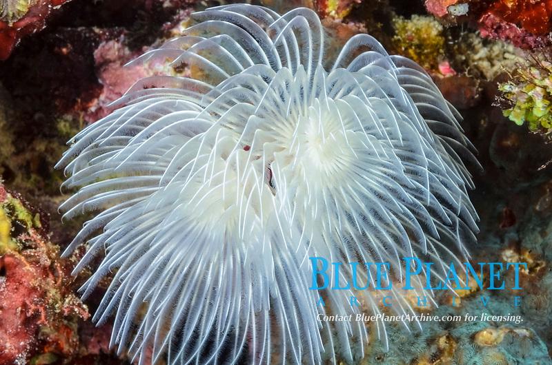 Magnificent tube worm, Protula magnifica, Moalboal, Tuble, Cebu, Philippines