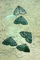 Olivbrauner Höhlenspanner, Höhlenspanner, Triphosa dubitata, tissue, tissue moth, Spanner, Geometridae, looper, loopers, geometer moths, geometer moth