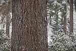Vashon-Maury Island, WA: Deodor cedar trunk (Cedrus deodara) with cement cast woodpecker in winter