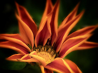 Close up of Gazania flower