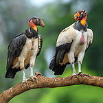 Adult (right) and juvenile (left) king vultures (Sarcoramphus papa). Laguna de Lagarto, Boca Tapada, north east Costa Rica (baited and photographed from a hide).