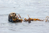 Southern sea otter or California sea otter Enhydra lutris nereis, holding onto some kelp in the Monterey Bay National Marine Sanctuary, Monterey, California, USA, Pacific Ocean