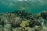 Coral reefs of Bunaken National Park with schooling fish in the shallows.