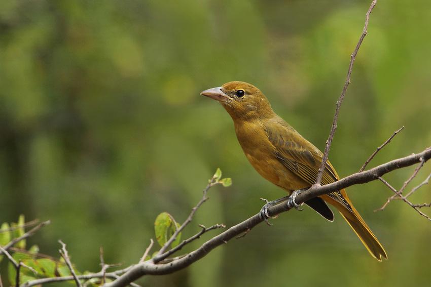 Often called 'Bee Bird' because of it's favorite food source..