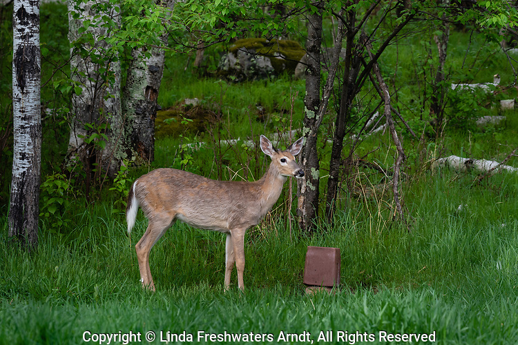 Young white-tailed buck standing next to a mineral block.