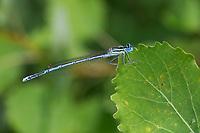 Gemeine Federlibelle, Blaue Federlibelle, Männchen, Platycnemis pennipes, white-legged damselfly, blue featherleg, male, le Pennipatte bleuâtre, l'Agrion à larges pattes