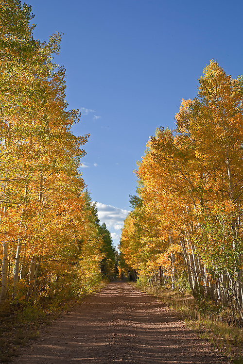During autumn, colorful aspen trees (Populus tremuloides) line the dirt road to Marble Point on the Kaibab Plateau