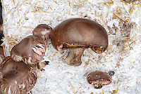 Mushroom Shiitake growing, Lentinula edodes, culinary edible delicacy as well as medicinal plant, Asian